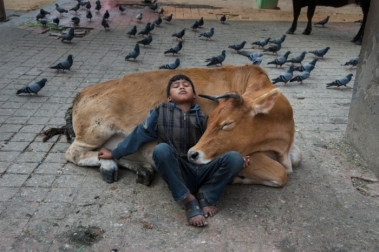 DSC_5311_sf. Nepal, 11/2013. Young boy is resting on a cow. Retouched_Sonny Fabbri